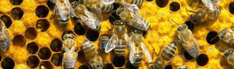bee-animal-wallpapers53_2
